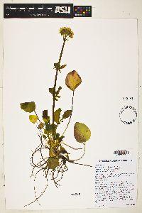 Valeriana arizonica image