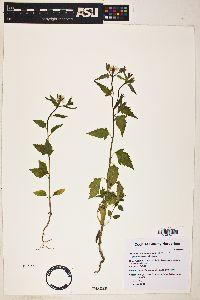 Mentzelia asperula image