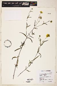 Heliomeris longifolia var. longifolia image