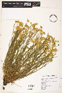 Xanthisma spinulosum image