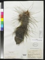 Image of Echinocereus apachensis
