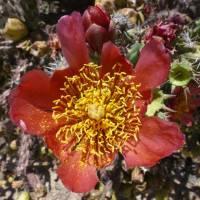 Cylindropuntia versicolor image
