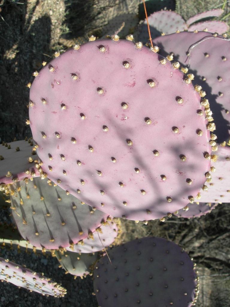 Opuntia santa-rita image