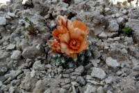 Pediocactus winkleri image
