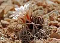 Pediocactus peeblesianus image