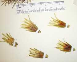 Coryphantha vivipara image