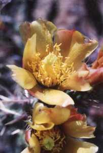 Image of Cylindropuntia x congesta