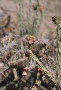 Image of Cylindropuntia leptocaulis x spinosior