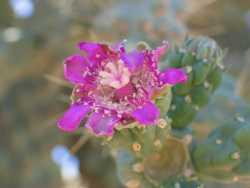 Image of Cylindropuntia fulgida