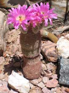 Image of Echinocereus rigidissimus