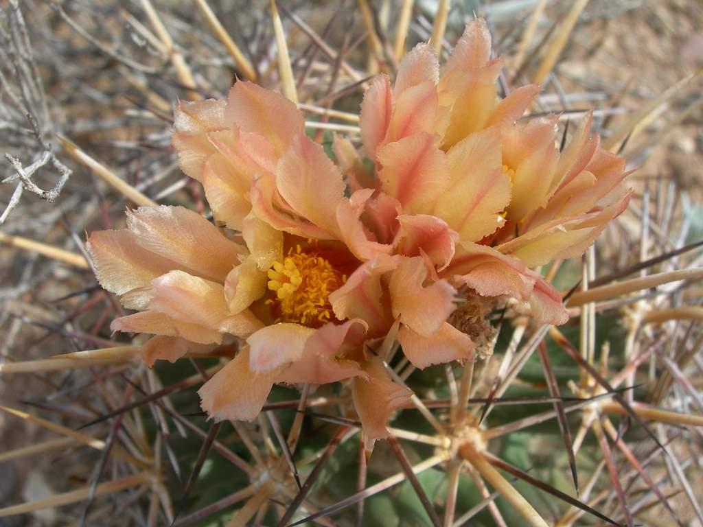 Coryphantha robustispina subsp. robustispina image