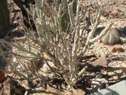 Image of Cylindropuntia tesajo
