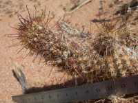 Image of Mammillaria thornberi