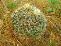 Image of Mammillaria viridiflora