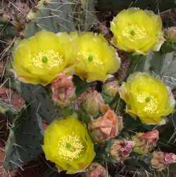 Image of Opuntia engelmannii