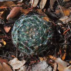 Image of Mammillaria wrightii