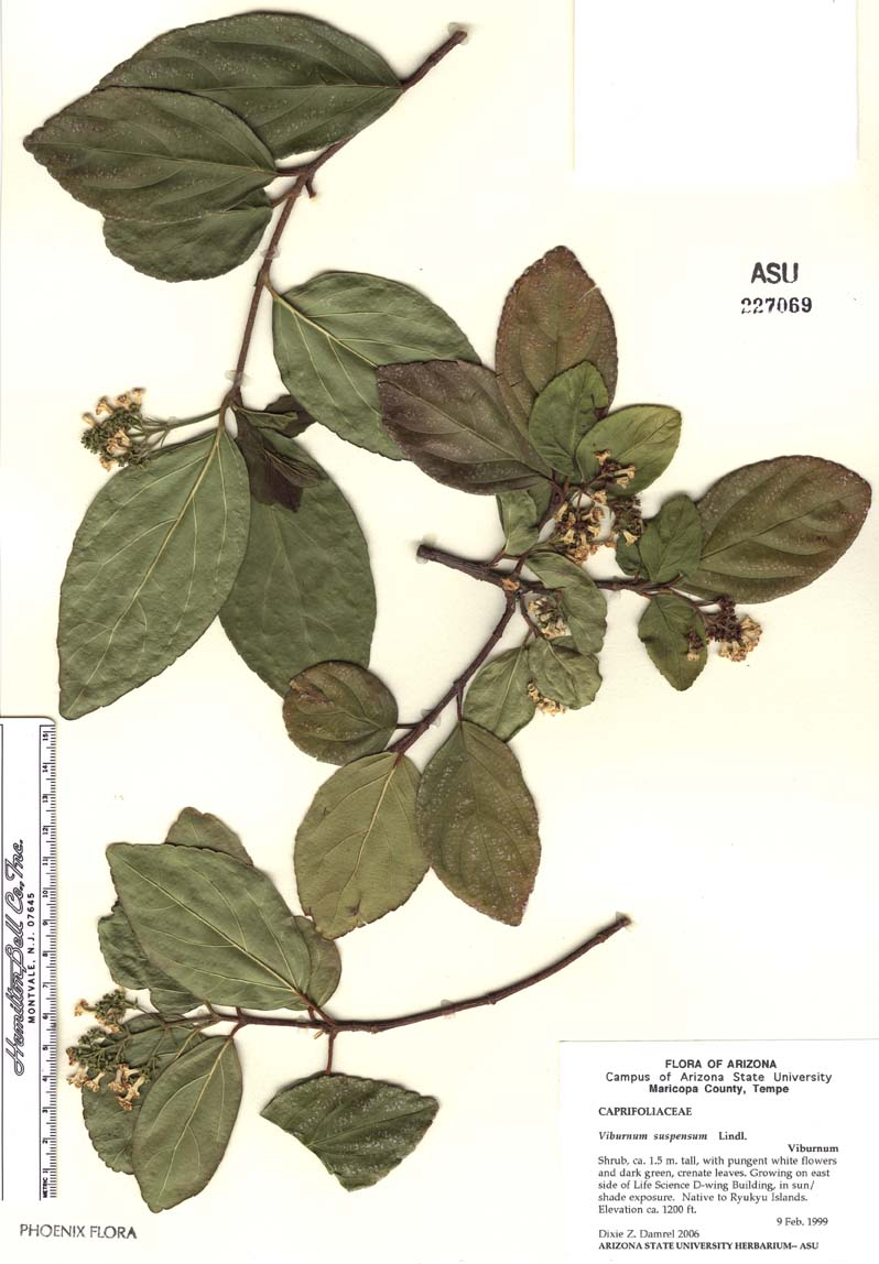 Viburnum image