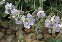 Image of Silene vulgaris
