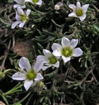 Image of Sabulina rubella