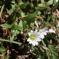 Image of Cerastium beeringianum