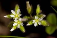 Image of Cerastium glomeratum