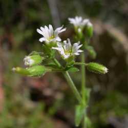 Image of Cerastium brachypodum
