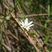 Image of Stellaria longifolia
