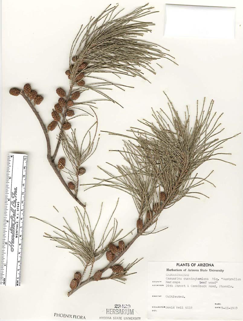 Casuarinaceae image