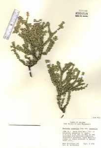 Mortonia scabrella var. scabrella image