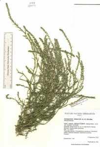 Image of Corispermum nitidum