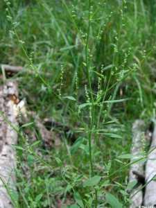 Image of Chenopodium atrovirens