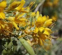 Image of Peritoma arborea