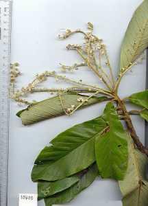 Image of Clethra lanata