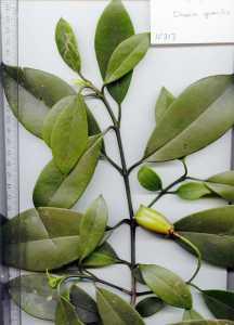 Image of Clusia gracilis