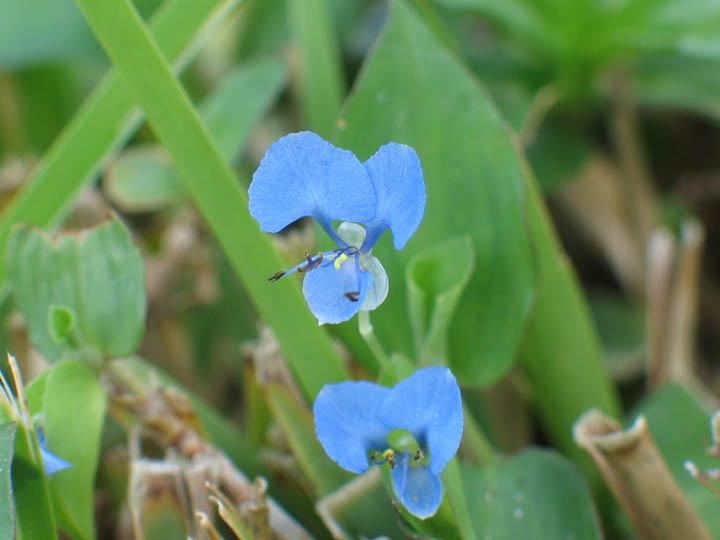 Commelinaceae image