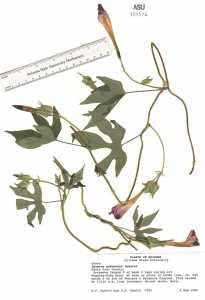 Ipomoea pubescens image