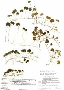 Image of Dichondra micrantha