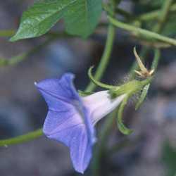 Image of Ipomoea hederacea