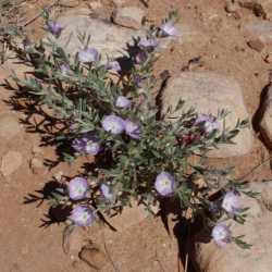 Image of Evolvulus nuttallianus