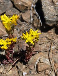 Image of Sedum lanceolatum