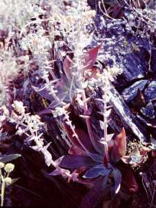 Dudleya arizonica image