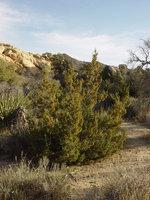 Juniperus californica image