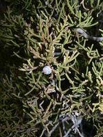 Image of Juniperus californica
