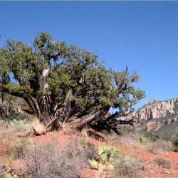 Image of Juniperus arizonica