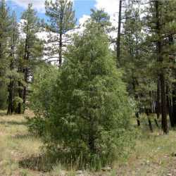 Image of Juniperus scopulorum