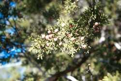 Juniperus coahuilensis image
