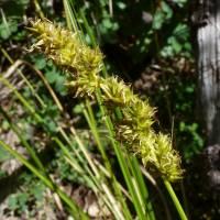 Image of Carex alma