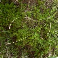 Carex specuicola image