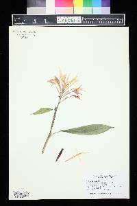 Image of Hedychium borneense