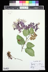 Image of Clerodendrum thomsoniae